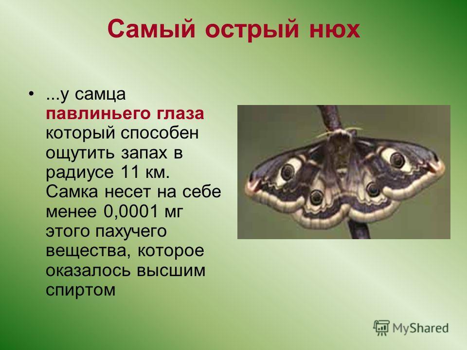 Самый острый нюх...у самца павлиньего глаза который способен ощутить запах в радиусе 11 км. Самка несет на себе менее 0,0001 мг этого пахучего вещества, которое оказалось высшим спиртом
