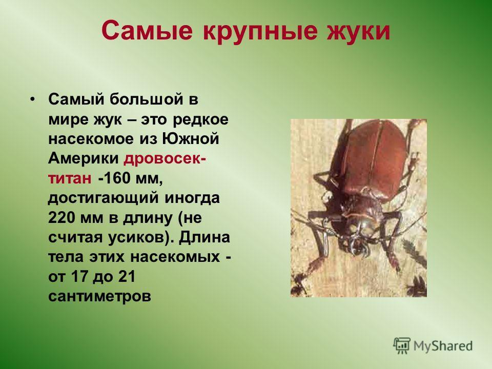 Самые крупные жуки Самый большой в мире жук – это редкое насекомое из Южной Америки дровосек- титан -160 мм, достигающий иногда 220 мм в длину (не считая усиков). Длина тела этих насекомых - от 17 до 21 сантиметров