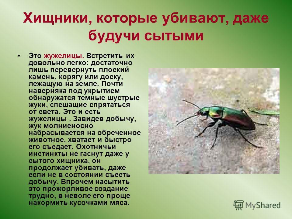 Хищники, которые убивают, даже будучи сытыми Это жужелицы. Встретить их довольно легко: достаточно лишь перевернуть плоский камень, корягу или доску, лежащую на земле. Почти наверняка под укрытием обнаружатся темные шустрые жуки, спешащие спрятаться