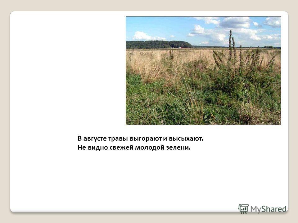В августе травы выгорают и высыхают. Не видно свежей молодой зелени.