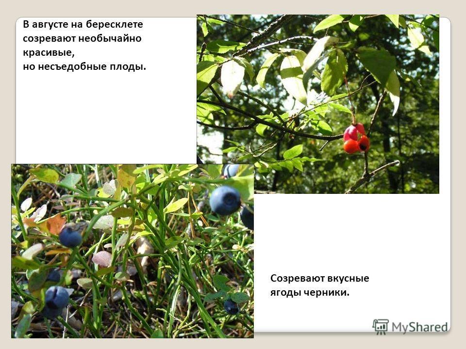 В августе на бересклете созревают необычайно красивые, но несъедобные плоды. Созревают вкусные ягоды черники.