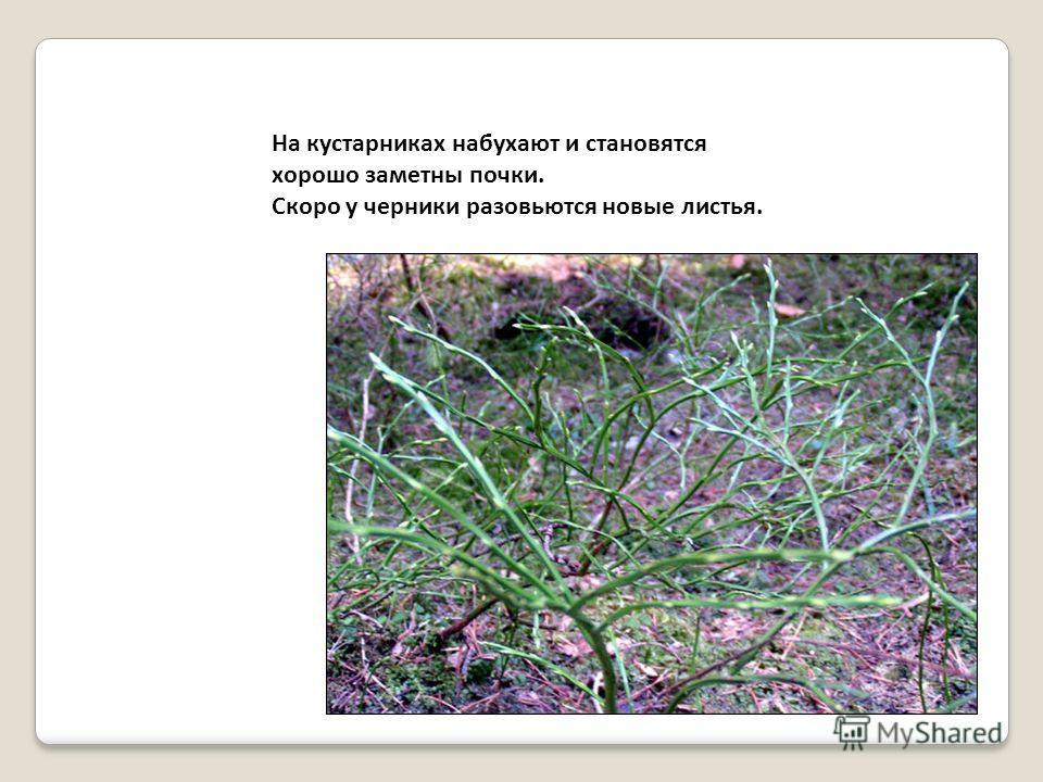 На кустарниках набухают и становятся хорошо заметны почки. Скоро у черники разовьются новые листья.