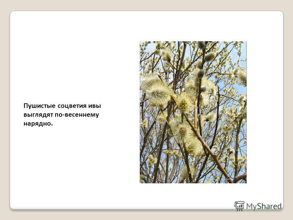 Пушистые соцветия ивы выглядят по-весеннему нарядно.