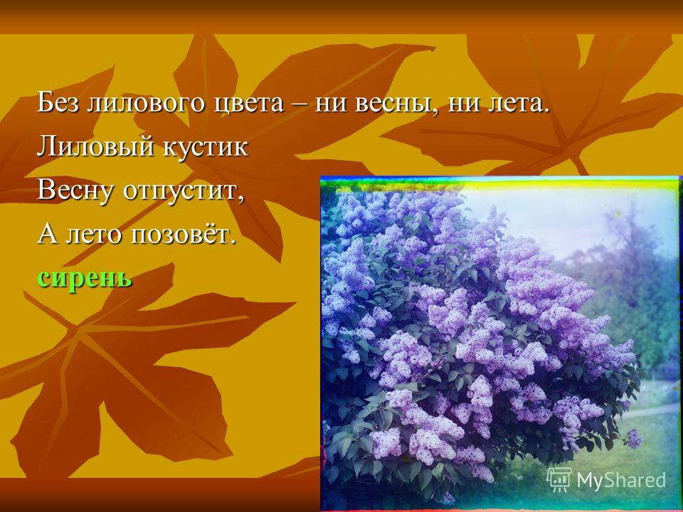 Без лилового цвета – ни весны, ни лета. Лиловый кустик Весну отпустит, А лето позовёт. сирень