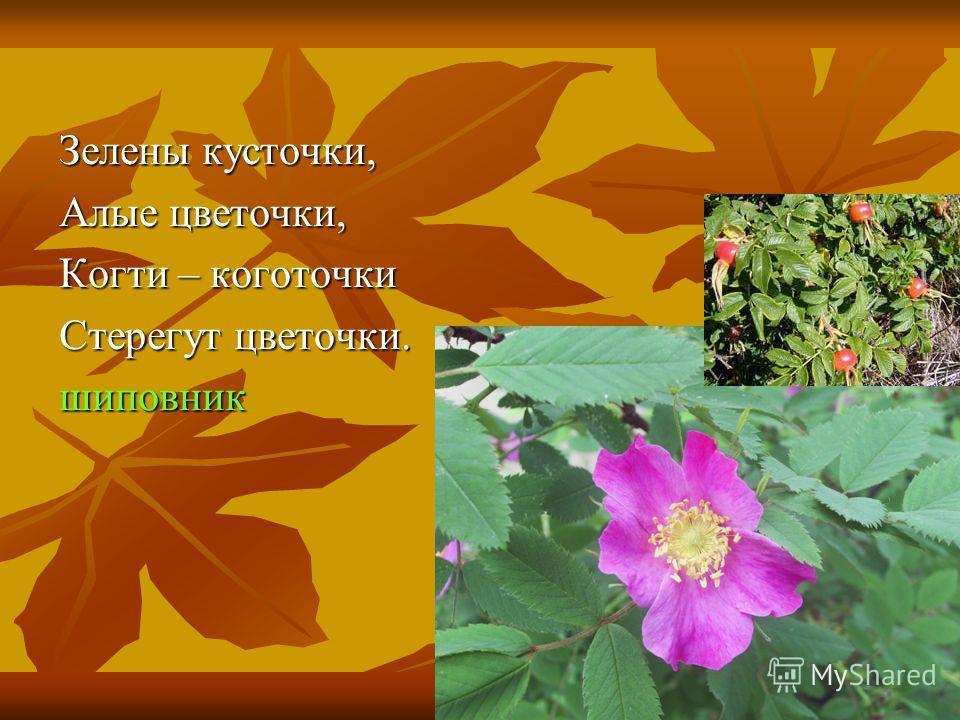Зелены кусточки, Алые цветочки, Когти – коготочки Стерегут цветочки. шиповник