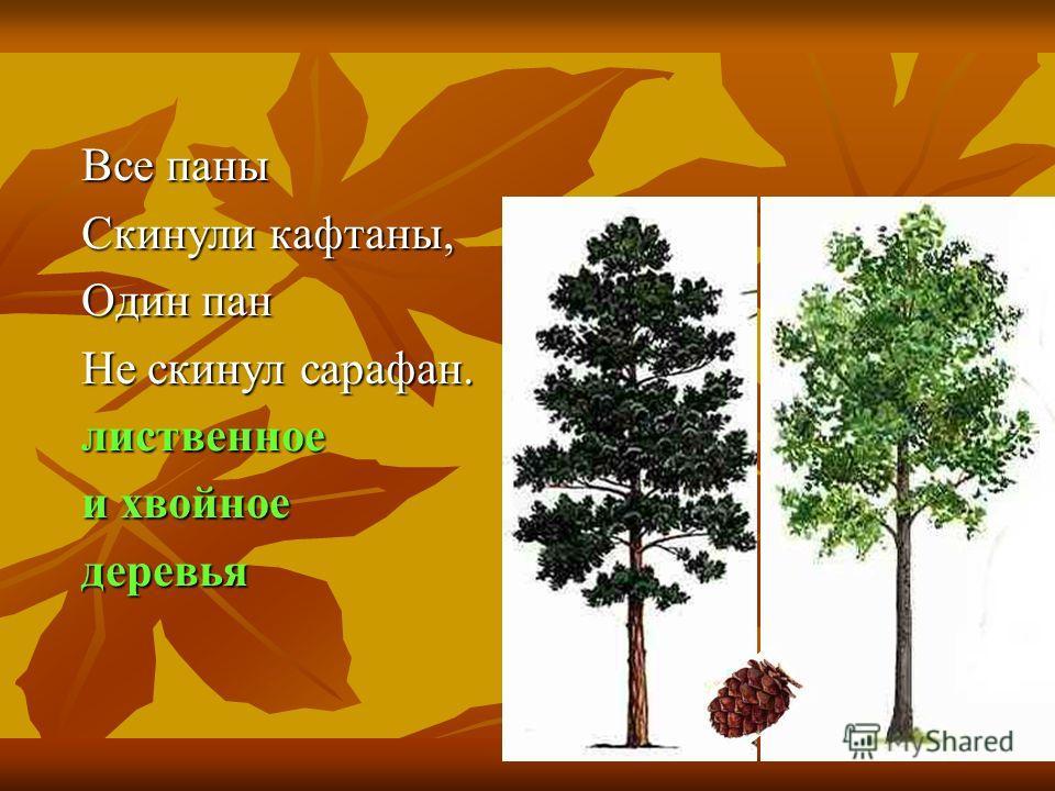 Все паны Скинули кафтаны, Один пан Не скинул сарафан. лиственное и хвойное деревья