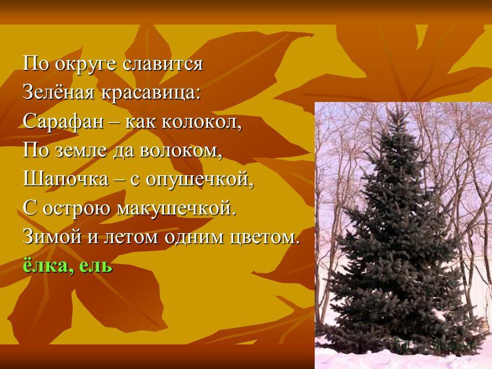 По округе славится Зелёная красавица: Сарафан – как колокол, По земле да волоком, Шапочка – с опушечкой, С острою макушечкой. Зимой и летом одним цветом. ёлка, ель