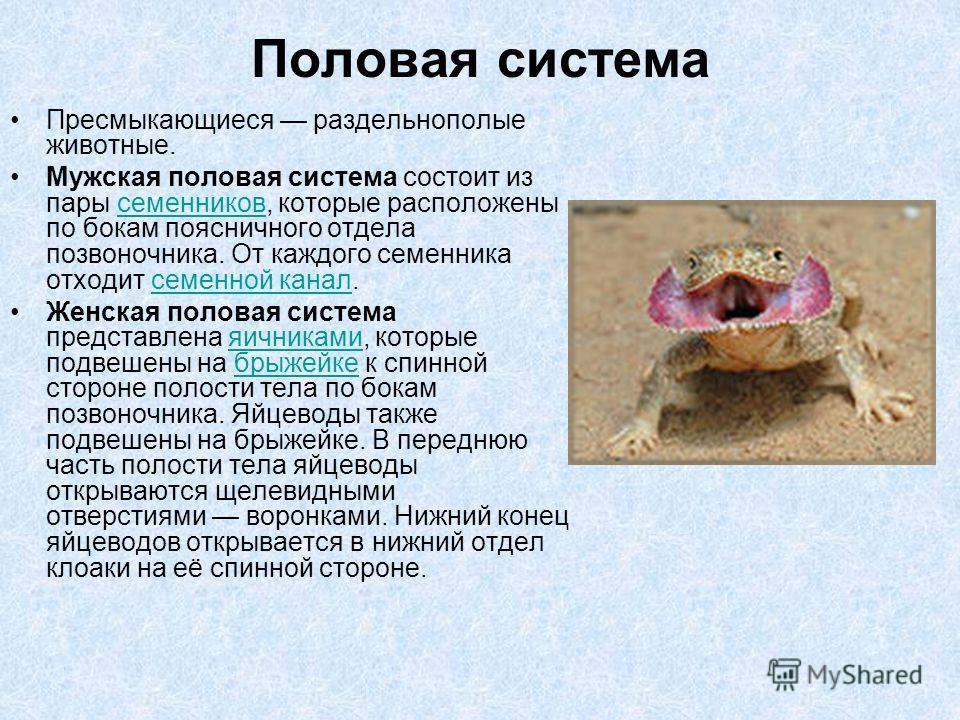 Половая система Пресмыкающиеся раздельнополые животные. Мужская половая система состоит из пары семенников, которые расположены по бокам поясничного отдела позвоночника. От каждого семенника отходит семенной канал.семенниковсеменной канал Женская пол