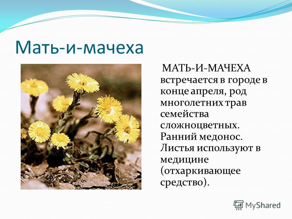 Мать-и-мачеха МАТЬ-И-МАЧЕХА встречается в городе в конце апреля, род многолетних трав семейства сложноцветных. Ранний медонос. Листья используют в медицине (отхаркивающее средство).