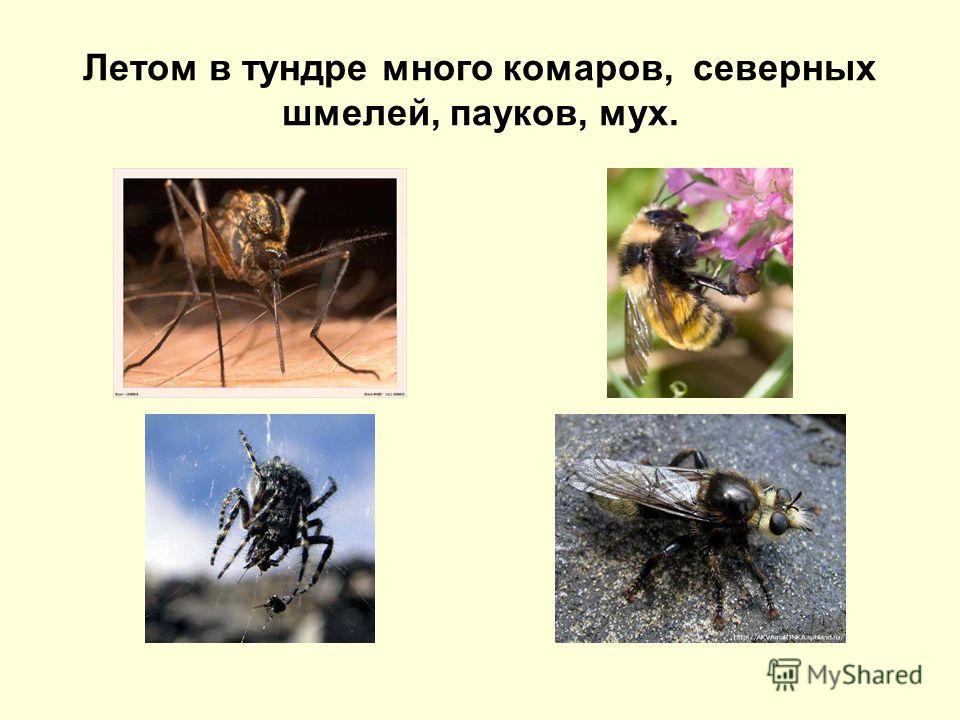 Летом в тундре много комаров, северных шмелей, пауков, мух.