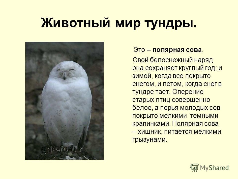 Животный мир тундры. Это – полярная сова. Свой белоснежный наряд она сохраняет круглый год: и зимой, когда все покрыто снегом, и летом, когда снег в тундре тает. Оперение старых птиц совершенно белое, а перья молодых сов покрыто мелкими темными крапи
