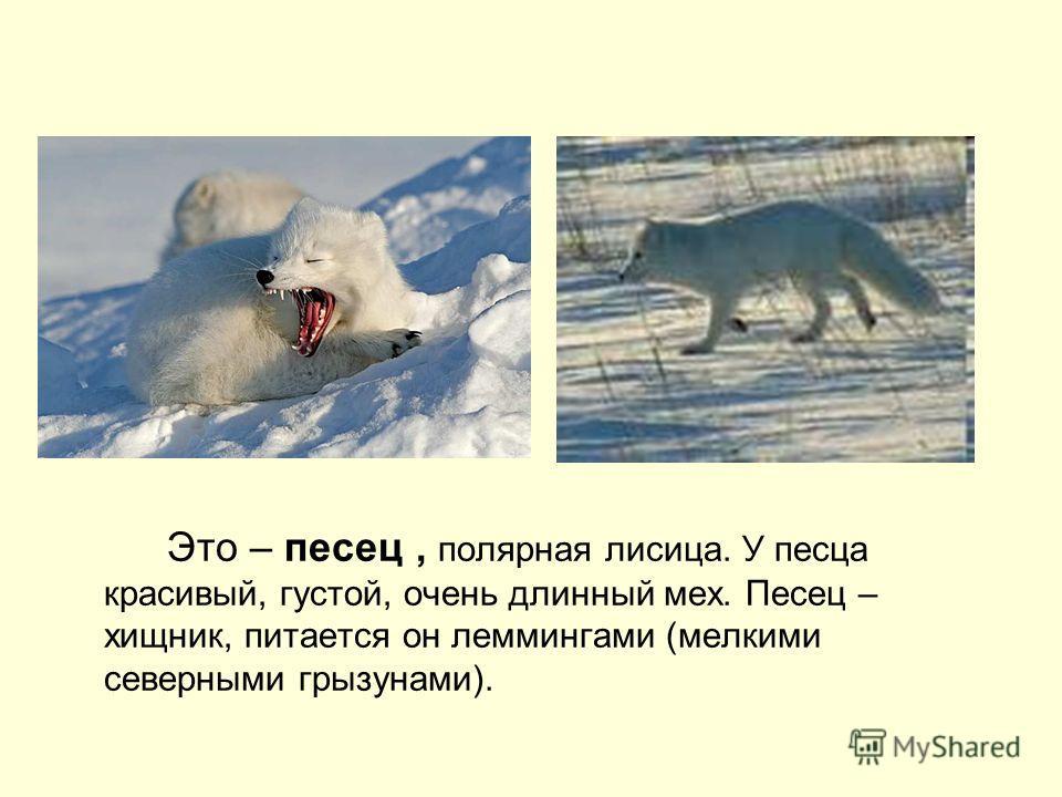 Это – песец, полярная лисица. У песца красивый, густой, очень длинный мех. Песец – хищник, питается он леммингами (мелкими северными грызунами).