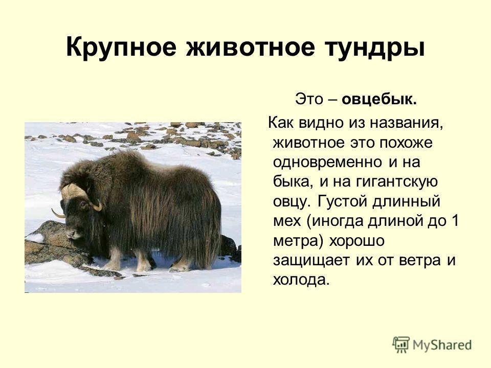 Крупное животное тундры Это – овцебык. Как видно из названия, животное это похоже одновременно и на быка, и на гигантскую овцу. Густой длинный мех (иногда длиной до 1 метра) хорошо защищает их от ветра и холода.