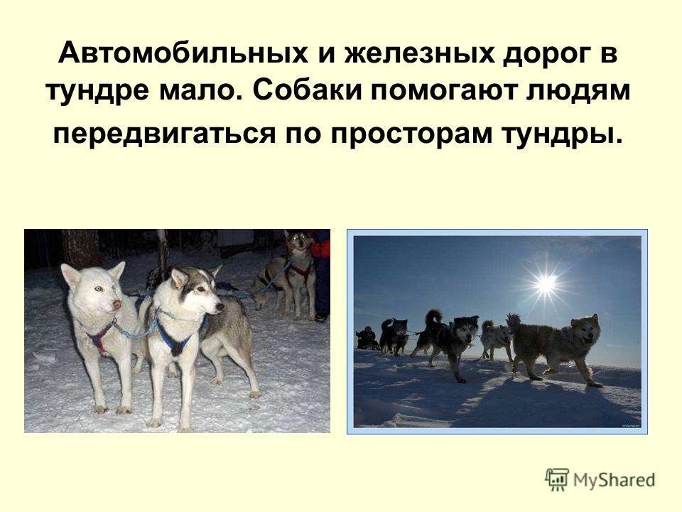 Автомобильных и железных дорог в тундре мало. Собаки помогают людям передвигаться по просторам тундры.
