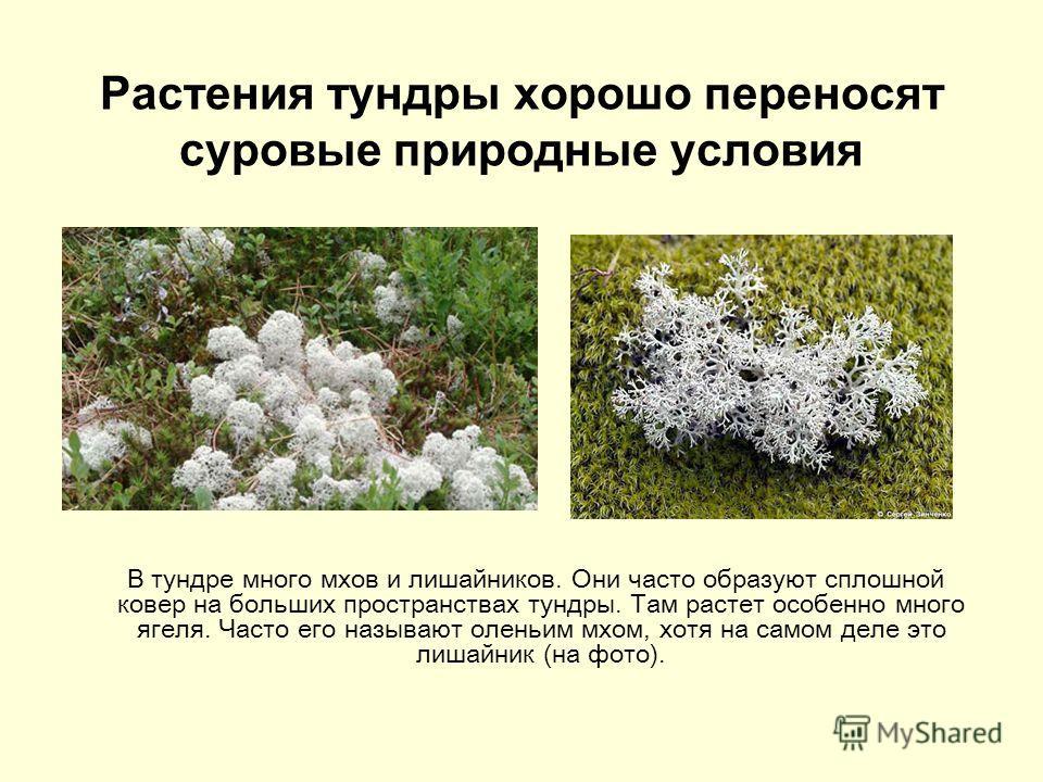 Растения тундры хорошо переносят суровые природные условия В тундре много мхов и лишайников. Они часто образуют сплошной ковер на больших пространствах тундры. Там растет особенно много ягеля. Часто его называют оленьим мхом, хотя на самом деле это л