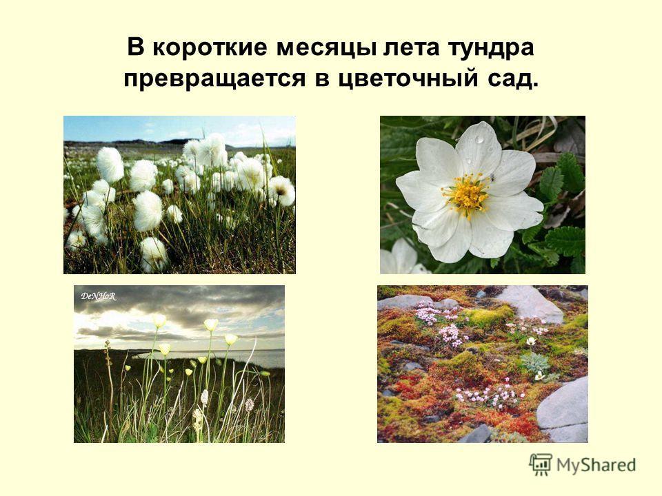 В короткие месяцы лета тундра превращается в цветочный сад.