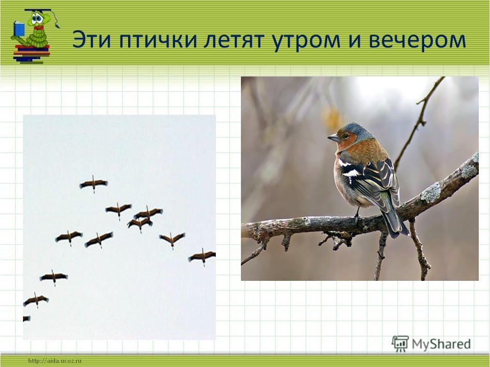 Эти птички летят утром и вечером