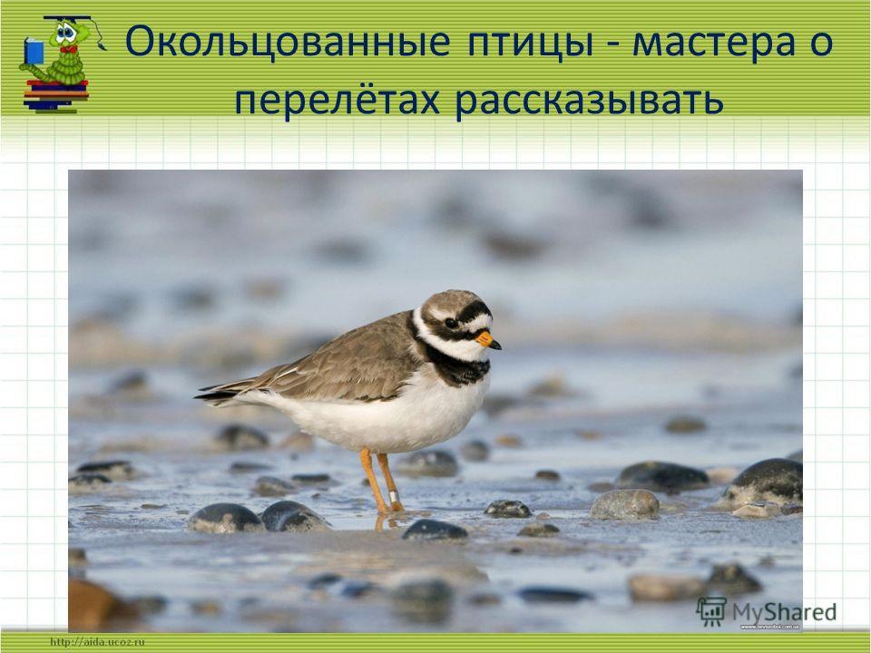 Окольцованные птицы - мастера о перелётах рассказывать