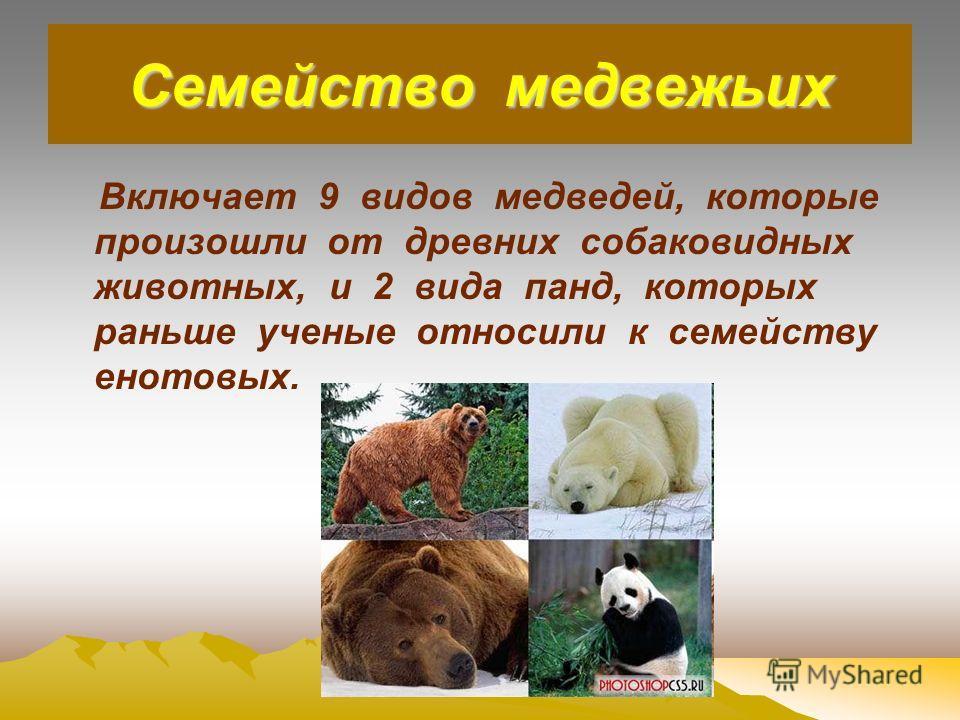 Семейство медвежьих Включает 9 видов медведей, которые произошли от древних собаковидных животных, и 2 вида панд, которых раньше ученые относили к семейству енотовых.