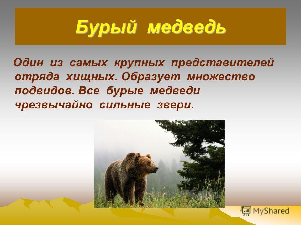 Бурый медведь Один из самых крупных представителей отряда хищных. Образует множество подвидов. Все бурые медведи чрезвычайно сильные звери.