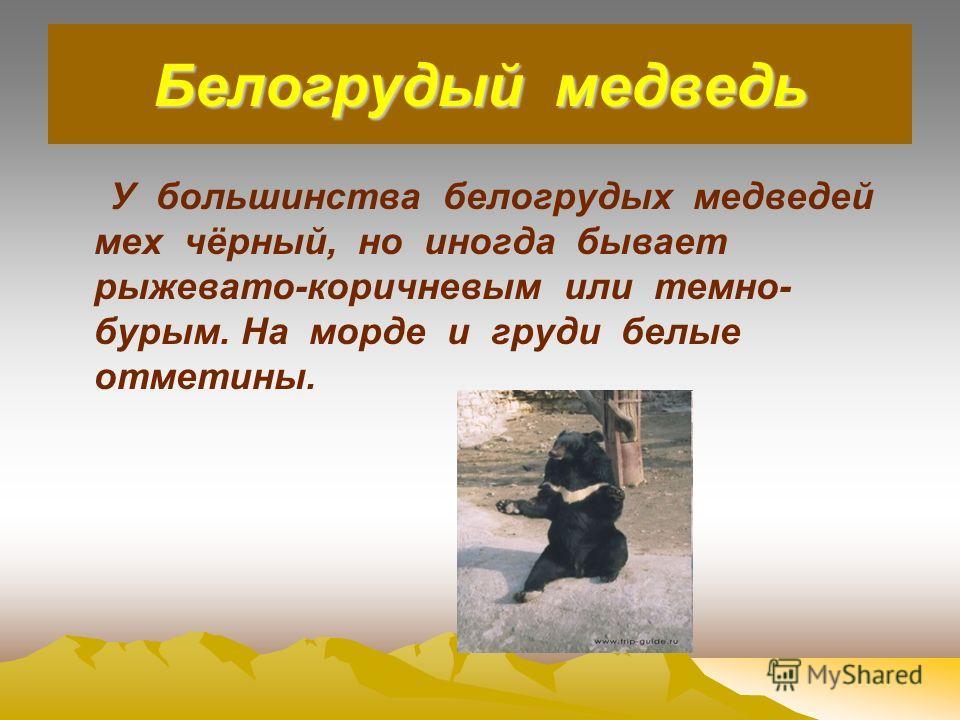 Белогрудый медведь У большинства белогрудых медведей мех чёрный, но иногда бывает рыжевато-коричневым или темно- бурым. На морде и груди белые отметины.