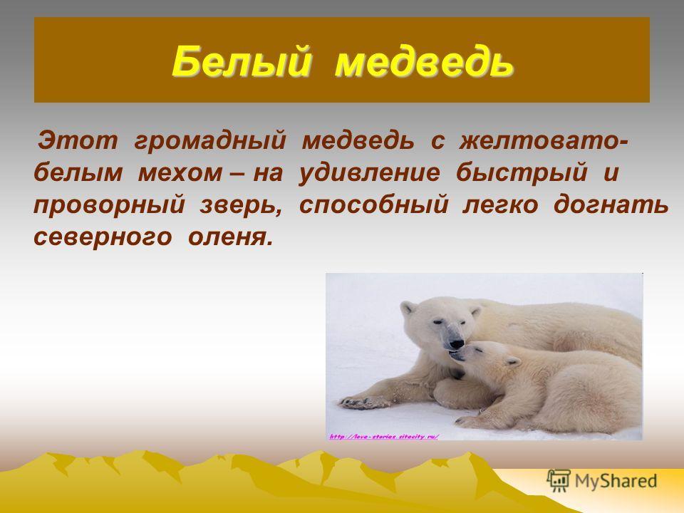 Белый медведь Этот громадный медведь с желтовато- белым мехом – на удивление быстрый и проворный зверь, способный легко догнать северного оленя.