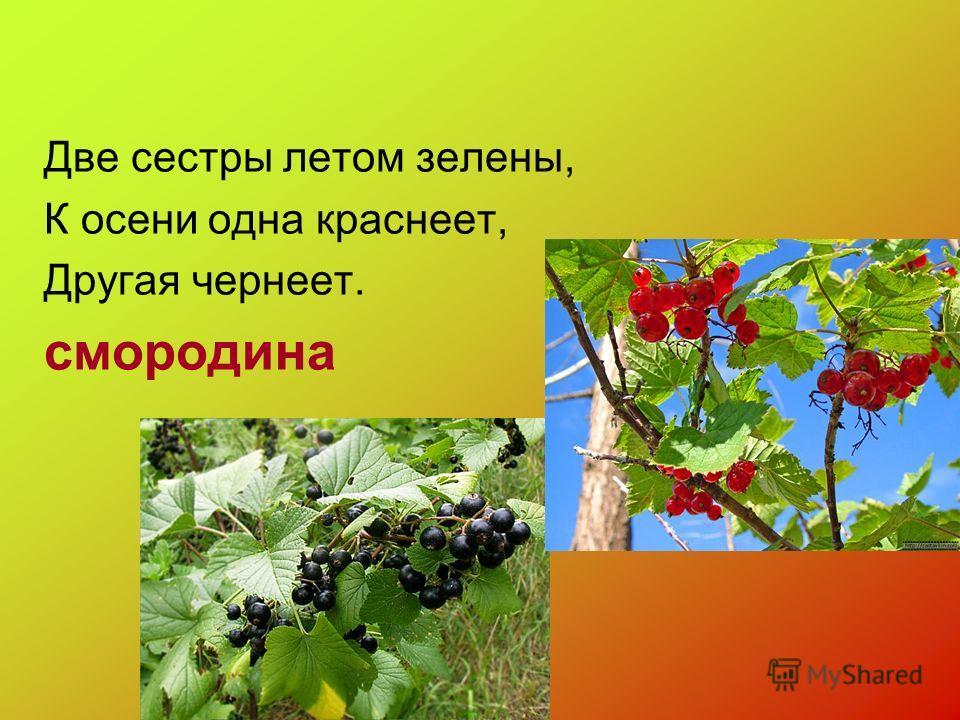 Две сестры летом зелены, К осени одна краснеет, Другая чернеет. смородина