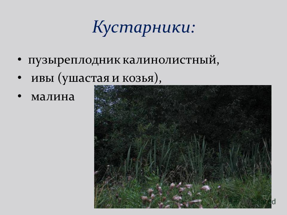 Кустарники: пузыреплодник калинолистный, ивы (ушастая и козья), малина