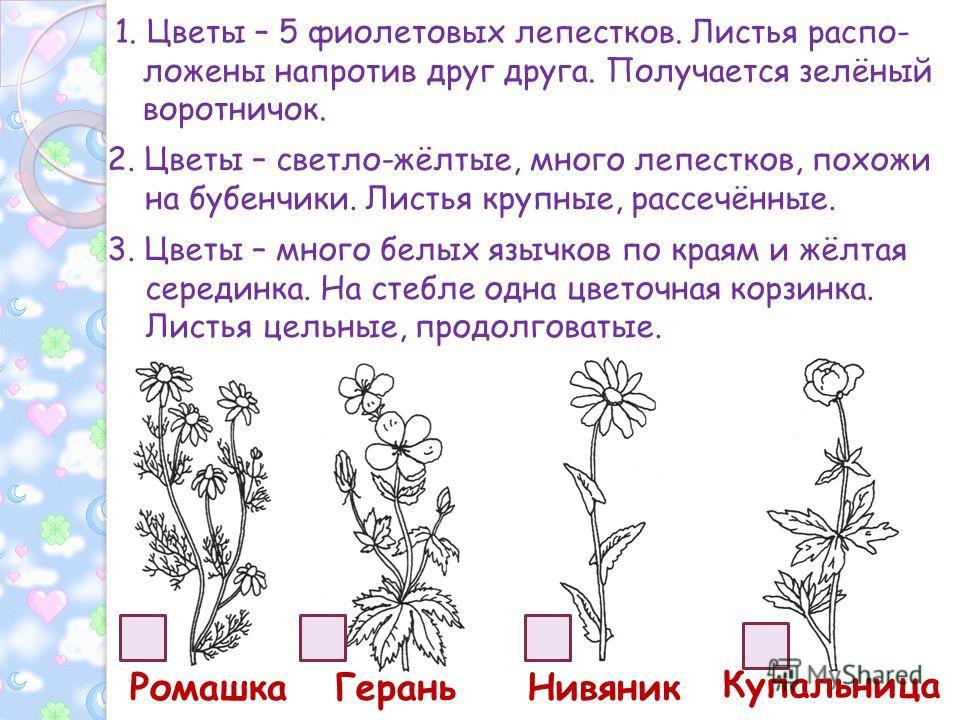 1. Цветы – 5 фиолетовых лепестков. Листья распо- ложены напротив друг друга. Получается зелёный воротничок. 2. Цветы – светло-жёлтые, много лепестков, похожи на бубенчики. Листья крупные, рассечённые. 3. Цветы – много белых язычков по краям и жёлтая