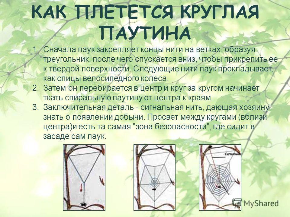 КАК ПЛЕТЕТСЯ КРУГЛАЯ ПАУТИНА 1. Сначала паук закрепляет концы нити на ветках, образуя треугольник, после чего спускается вниз, чтобы прикрепить ее к твердой поверхности. Следующие нити паук прокладывает, как спицы велосипедного колеса. 2. Затем он пе