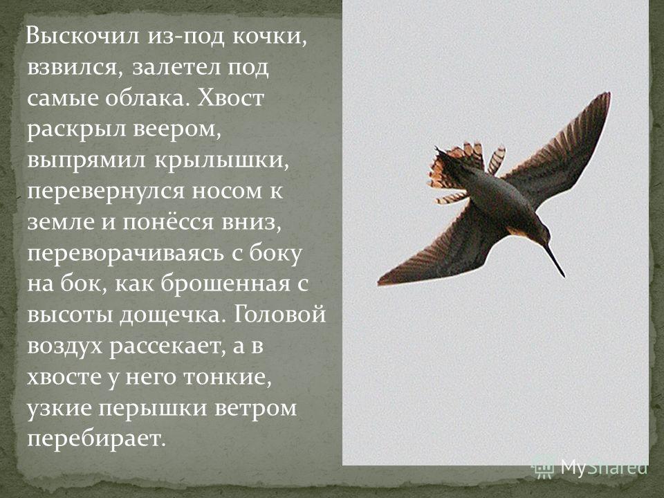 Выскочил из-под кочки, взвился, залетел под самые облака. Хвост раскрыл веером, выпрямил крылышки, перевернулся носом к земле и понёсся вниз, переворачиваясь с боку на бок, как брошенная с высоты дощечка. Головой воздух рассекает, а в хвосте у него т