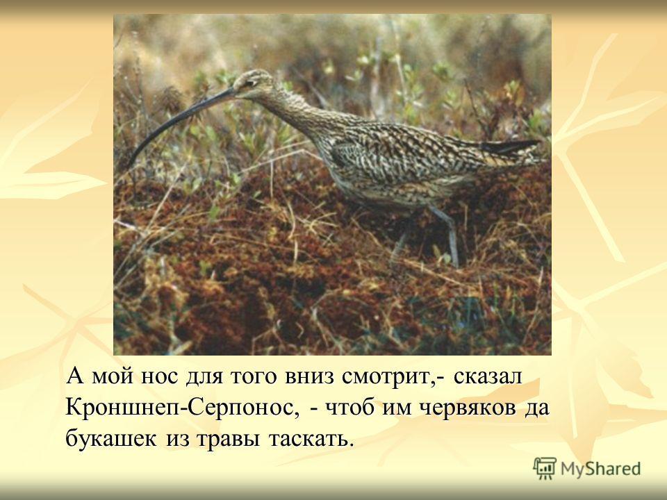А мой нос для того вниз смотрит,- сказал Кроншнеп-Серпонос, - чтоб им червяков да букашек из травы таскать. А мой нос для того вниз смотрит,- сказал Кроншнеп-Серпонос, - чтоб им червяков да букашек из травы таскать.
