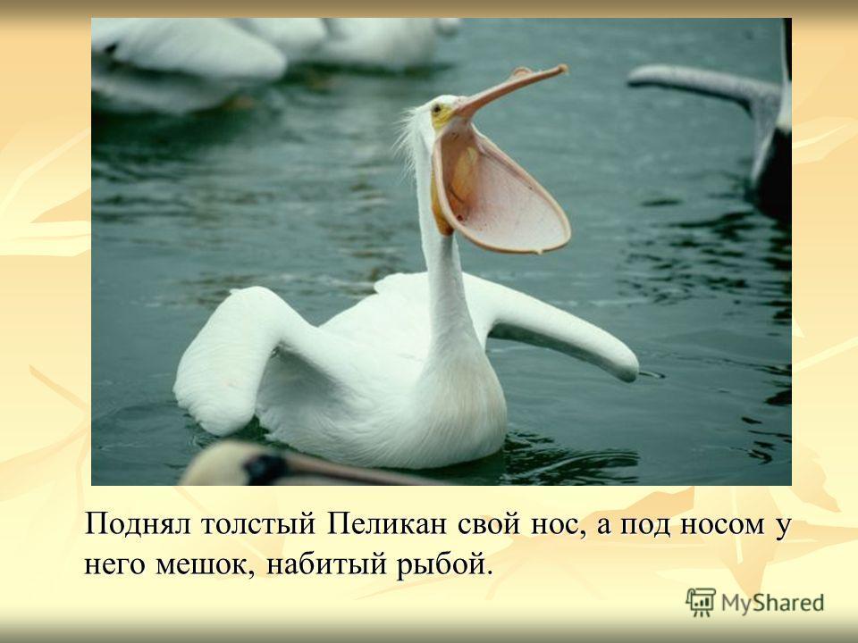 Поднял толстый Пеликан свой нос, а под носом у него мешок, набитый рыбой. Поднял толстый Пеликан свой нос, а под носом у него мешок, набитый рыбой.