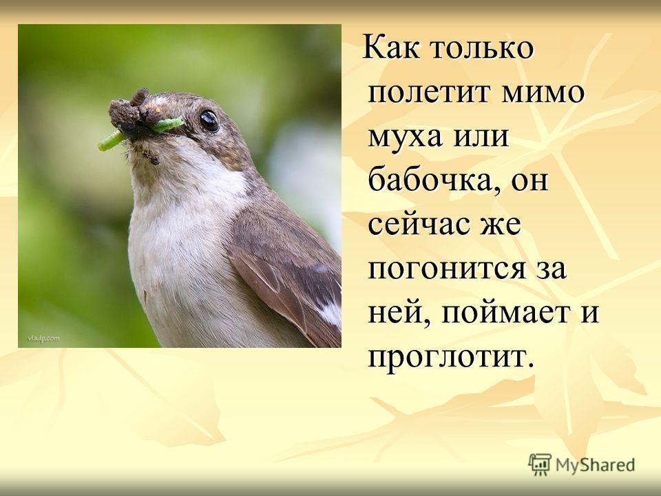 Как только полетит мимо муха или бабочка, он сейчас же погонится за ней, поймает и проглотит. Как только полетит мимо муха или бабочка, он сейчас же погонится за ней, поймает и проглотит.