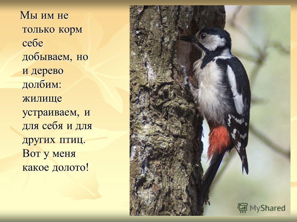 Мы им не только корм себе добываем, но и дерево долбим: жилище устраиваем, и для себя и для других птиц. Вот у меня какое долото! Мы им не только корм себе добываем, но и дерево долбим: жилище устраиваем, и для себя и для других птиц. Вот у меня како