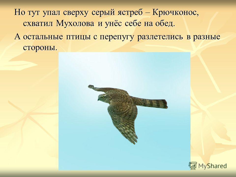 Но тут упал сверху серый ястреб – Крючконос, схватил Мухолова и унёс себе на обед. А остальные птицы с перепугу разлетелись в разные стороны.