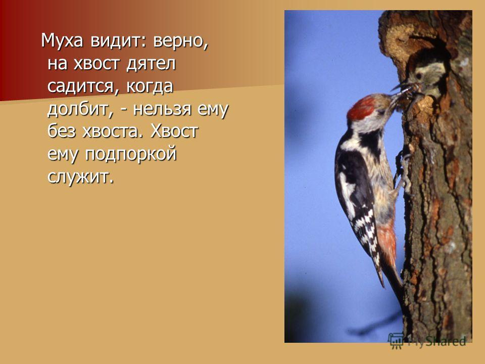 Муха видит: верно, на хвост дятел садится, когда долбит, - нельзя ему без хвоста. Хвост ему подпоркой служит. Муха видит: верно, на хвост дятел садится, когда долбит, - нельзя ему без хвоста. Хвост ему подпоркой служит.