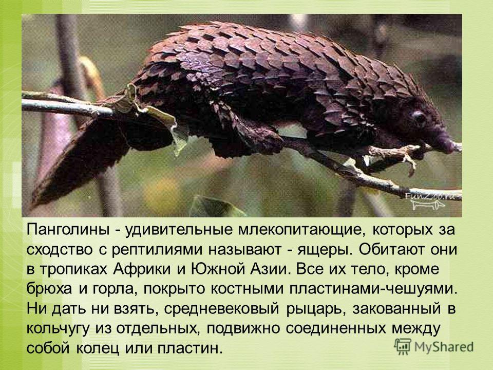 Панголины - удивительные млекопитающие, которых за сходство с рептилиями называют - ящеры. Обитают они в тропиках Африки и Южной Азии. Все их тело, кроме брюха и горла, покрыто костными пластинами-чешуями. Ни дать ни взять, средневековый рыцарь, зако