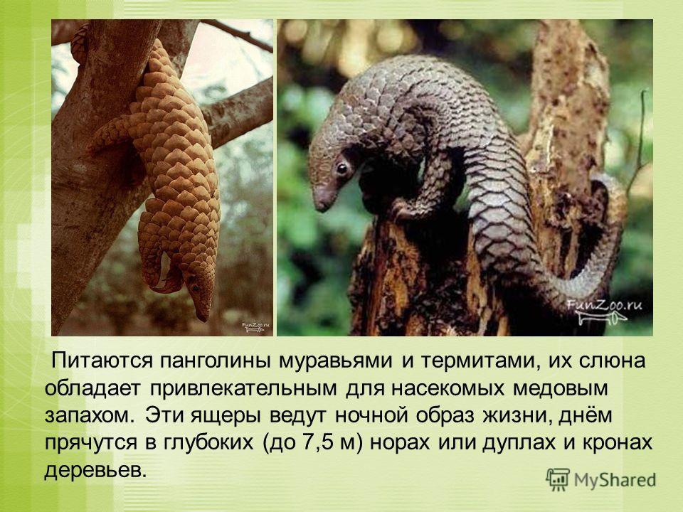 Питаются панголины муравьями и термитами, их слюна обладает привлекательным для насекомых медовым запахом. Эти ящеры ведут ночной образ жизни, днём прячутся в глубоких (до 7,5 м) норах или дуплах и кронах деревьев.