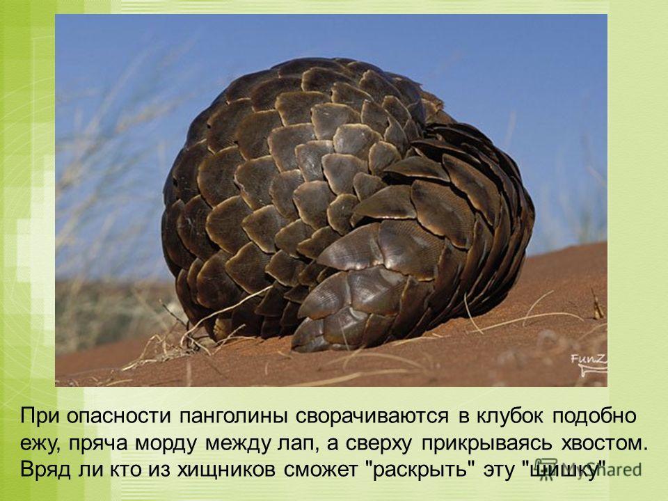 При опасности панголины сворачиваются в клубок подобно ежу, пряча морду между лап, а сверху прикрываясь хвостом. Вряд ли кто из хищников сможет раскрыть эту шишку