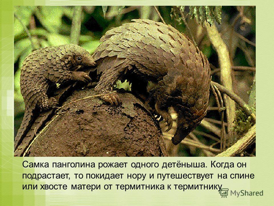 Самка панголина рожает одного детёныша. Когда он подрастает, то покидает нору и путешествует на спине или хвосте матери от термитника к термитнику