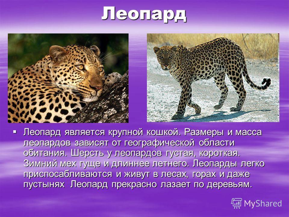 Леопард Леопард является крупной кошкой. Размеры и масса леопардов зависят от географической области обитания. Шерсть у леопардов густая, короткая. Зимний мех гуще и длиннее летнего. Леопарды легко приспосабливаются и живут в лесах, горах и даже пуст