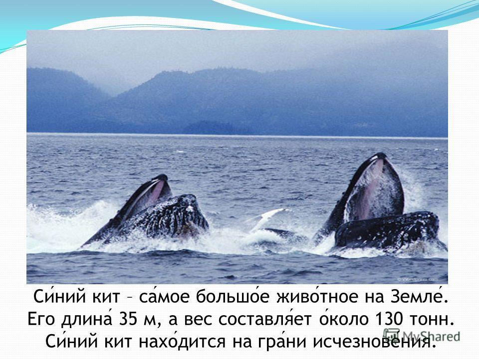Синий кит – самое большое животное на Земле. Его длина 35 м, а вес составляет около 130 тонн. Синий кит находится на грани исчезновения.