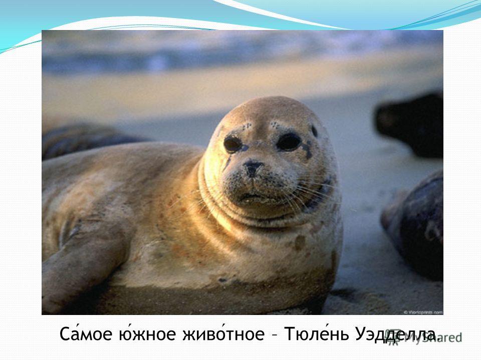 Самое южное животное – Тюлень Уэдделла.