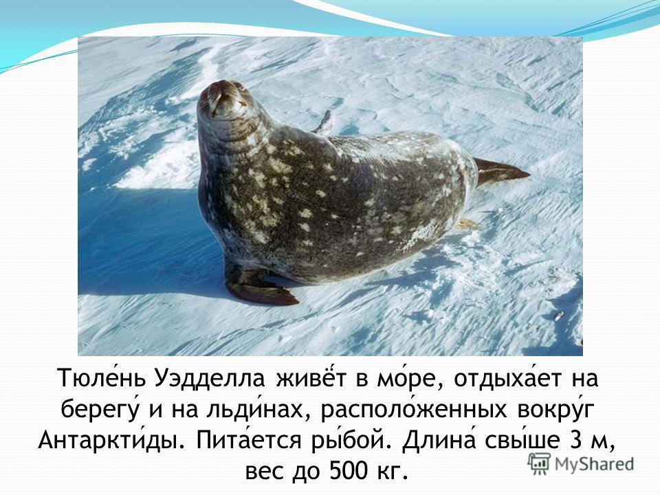 Тюлень Уэдделла живёт в море, отдыхает на берегу и на льдинах, расположенных вокруг Антарктиды. Питается рыбой. Длина свыше 3 м, вес до 500 кг.