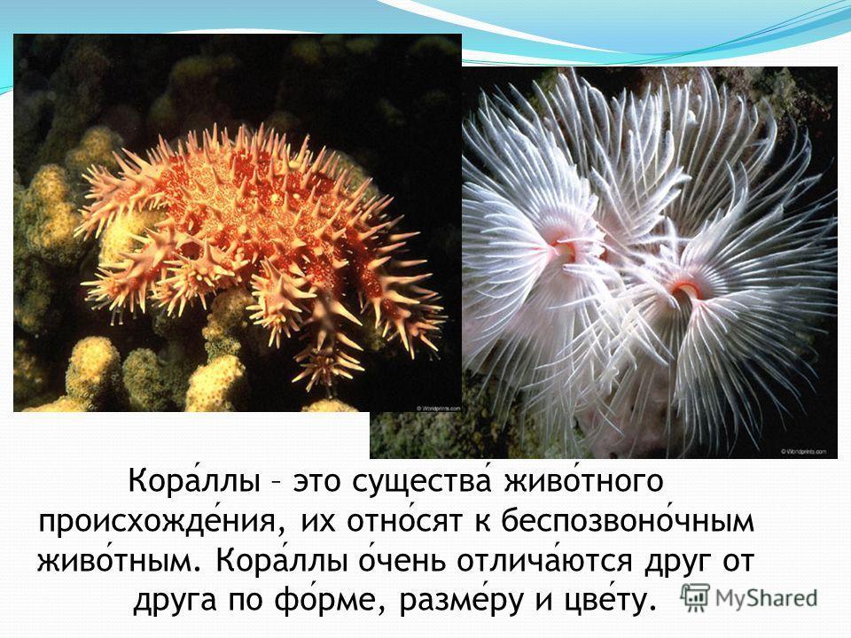 Кораллы – это существа животного происхождения, их относят к беспозвоночным животным. Кораллы очень отличаются друг от друга по форме, размеру и цвету.