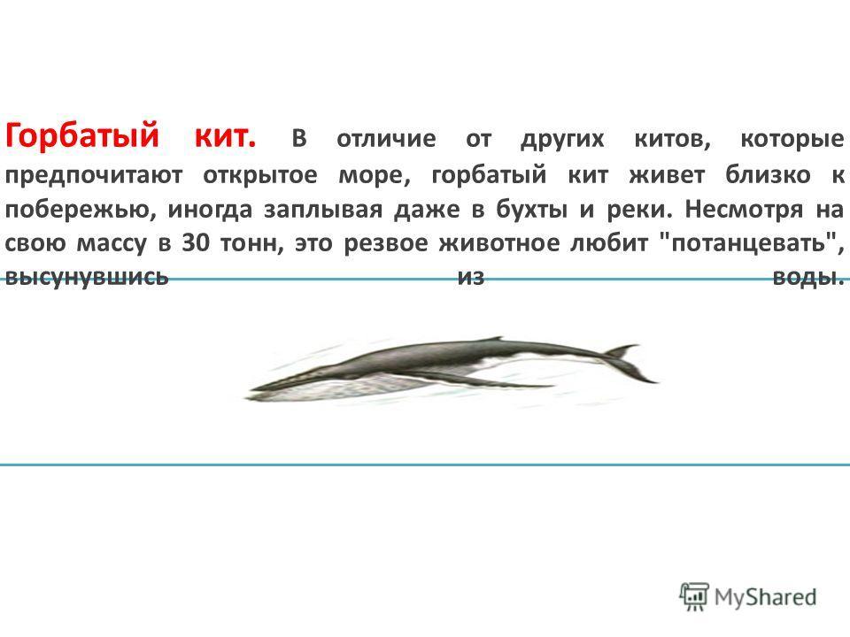 Горбатый кит. В отличие от других китов, которые предпочитают открытое море, горбатый кит живет близко к побережью, иногда заплывая даже в бухты и реки. Несмотря на свою массу в 30 тонн, это резвое животное любит потанцевать, высунувшись из воды.