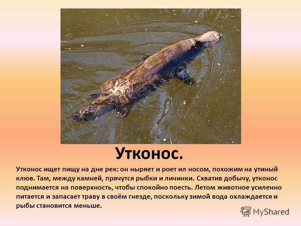 Утконос. Утконос ищет пищу на дне рек: он ныряет и роет ил носом, похожим на утиный клюв. Там, между камней, прячутся рыбки и личинки. Схватив добычу, утконос поднимается на поверхность, чтобы спокойно поесть. Летом животное усиленно питается и запас