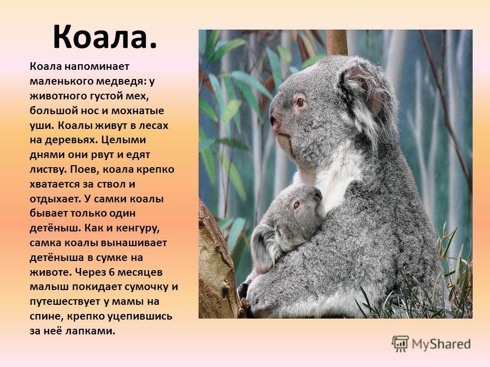 Коала. Коала напоминает маленького медведя: у животного густой мех, большой нос и мохнатые уши. Коалы живут в лесах на деревьях. Целыми днями они рвут и едят листву. Поев, коала крепко хватается за ствол и отдыхает. У самки коалы бывает только один д