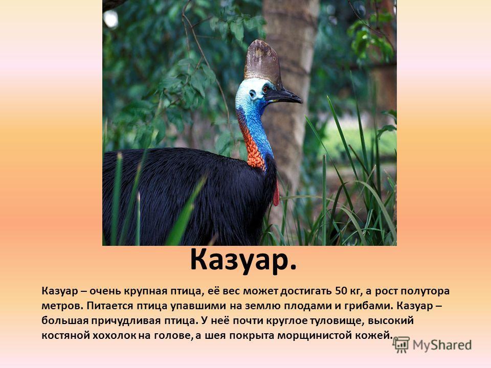 Казуар. Казуар – очень крупная птица, её вес может достигать 50 кг, а рост полутора метров. Питается птица упавшими на землю плодами и грибами. Казуар – большая причудливая птица. У неё почти круглое туловище, высокий костяной хохолок на голове, а ше